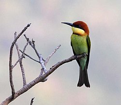 Chestnut headed bee eater.jpg