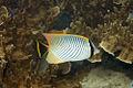 Chevron butterflyfish Chaetodon trifascialis (chevroned butterflyfish) (5847344844).jpg