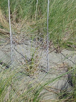 Sand dune stabilization - Figure 3: protecting plants with chicken wire