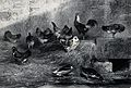 Chickens standing on hay while ducks drink from a pool in a Wellcome V0021616.jpg
