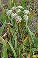 Chinese Hemlock-Parsley (Conioselinum chinense) - Lark Harbour, Newfoundland 2019-08-18.jpg