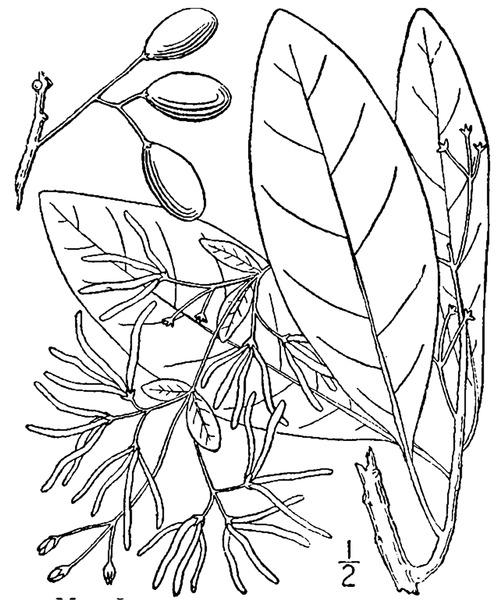 File:Chionanthus virginicus L. White fringetree.tiff