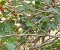 Choca barrada macho (Tamnophilus doliatus).jpg