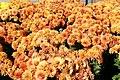 Chrysanthemum Warm Igloo 1zz.jpg