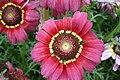 Chrysanthemum from lalbagh7255.JPG