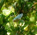 Cicadella viridis. Cicadellidae - Flickr - gailhampshire.jpg