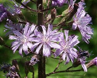 Cicerbita alpina - Flowers of Cicerbita alpina