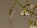 Circaea lutetiana (36356931592).jpg