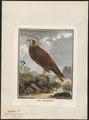 Circus aeruginosus - 1700-1880 - Print - Iconographia Zoologica - Special Collections University of Amsterdam - UBA01 IZ18300183.tif
