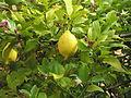 Citrus limonum 3.JPG