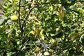 Citrus x Limon JPG1a.jpg