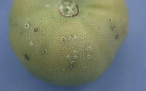 Clavibacter michiganensis symptoms on tomato.jpg