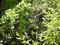 Clematis orientalis subsp. wightiana (17146379550).jpg