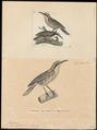 Climacteris mystacalis - 1700-1880 - Print - Iconographia Zoologica - Special Collections University of Amsterdam - UBA01 IZ19200405.tif