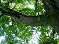 Climbing points on Sycamore branch.JPG