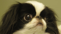 CloseUpJapaneseChin.png