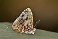 Close wing Basking of Catapaecilma major Druce, 1895 – Common Tinsel WLB DSC 3181.jpg