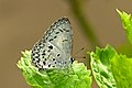 Close wing Basking posture of Acytolepis puspa (Horsfield, (1828)) – Common Hedge Blue WLB-NEI DSC 4461.jpg