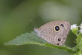 Close wing on leaf busking of Ypthima nareda Kollar, 1844 – Large Three-ring Q6603.jpg