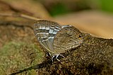 Close wing position of Jamides pura Moore, 1886 – White Cerulean DSC 1923.jpg