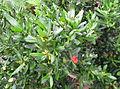 Cneorum tricoccon kz1.JPG