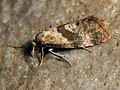 Cochylidia subroseana - Dingy roseate conch - Листовёртка розовая (40608315854).jpg