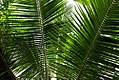 Cocos nucifera 7zz.jpg