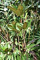 Codiaeum variegatum 52zz.jpg