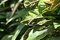 Codiaeum variegatum 56zz.jpg