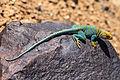 Collared Lizard (9474260244).jpg