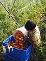 Collecting Tomatoes from field.jpg