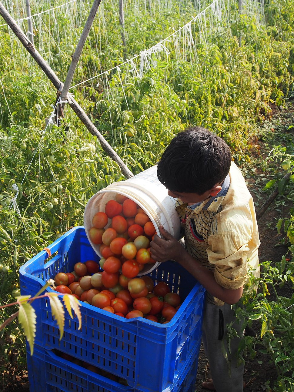 Collecting Tomatoes from field