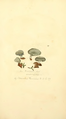 Coloured Figures of English Fungi or Mushrooms - t. 242.png