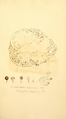 Coloured Figures of English Fungi or Mushrooms - t. 292.png