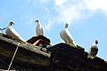 Columbidae - Residence of Danesh Sheikh - Danesh Sheikh Lane - Howrah 2012-10-02 0402.JPG
