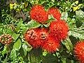 Combretum constrictum - Powderpuff Combretum 2014 (18).jpg