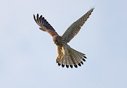 Common-Kestrel-4.jpg