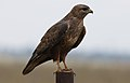 Common Buzzard (Steppe Buzzard), Buteo buteo vulpinus, on a fence along the R42, Gauteng, South Africa (32884487095).jpg