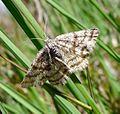 Common Heath. Ematurga atomaria atomaria - Flickr - gailhampshire.jpg