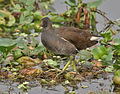 Common Moorhen (Gallinula chloropus)- Immature at Kolkata I IMG 2454.jpg