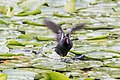 Common Moorhen -56 100- (35514258654).jpg