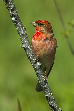 Common Rosefinch - Slovenia S4E6014 (22417221214).jpg