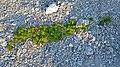 Common Silverweed (Argentina anserina) - Port au Choix, Newfoundland 2019-08-19 (02).jpg