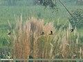 Common Snipe (Gallinago gallinago) (37565382922).jpg