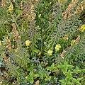 Common Toadflax (Linaria vulgaris) - Oslo, Norway 2020-09-16 (02).jpg