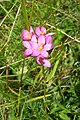 Common centaury below Bledlow Ridge - geograph.org.uk - 892192.jpg