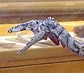Compsognathus longipes head.jpg