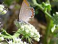 Conium maculatum Polinizador 2011-6-23 SierraMadrona.jpg