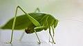 Contemplating mantis (50408257728).jpg