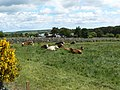 Contented cattle - geograph.org.uk - 853869.jpg